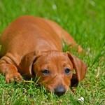 Kleine Hunderassen leben länger