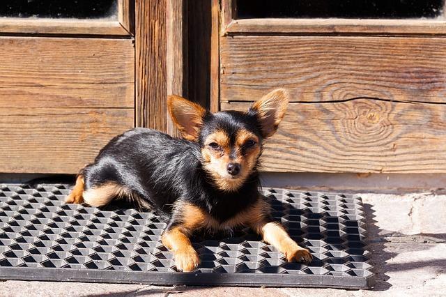 Vor allem Frauen finden kleine Hunderassen niedlich