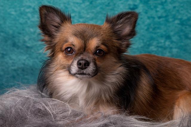 kleine Hunderasse Chihuahua